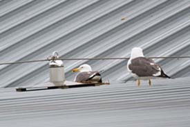 Gulls at Gatwick